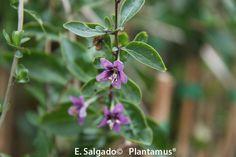 http://www.plantamus.es/comprar-frutales/comprar-planta-de-pequenos-frutos-/comprar-planta-de-goji-lycium-barbarum