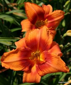 Daylily 'Wounded Heart' ~ Mid Season, Evergreen Most Beautiful Flowers, Love Flowers, Plant Guide, Day Lilies, Garden Beds, Horticulture, All The Colors, Perennials, Patio Bed