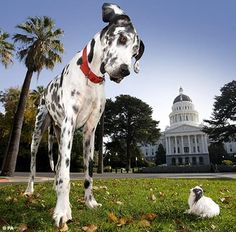 Meet Gibson and Boo Boo, the tallest and the smallest dog in the world. They just met near the White House, in Washington D.C., to celebrate The Guinness World Records Day.  Gibson, a Great Dane that is 107cm tall was named the tallest dog in the world in 2004. In 2007, Boo Boo took the title for the smallest dog, she is 10.16cm tall and it's a Chihuahua.