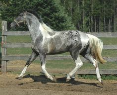 "A ""pintaloosa,"" a horse with both tobiano and Appaloosa (Lp) genes. The tobiano white cancels out the Appaloosa pattern on portions of the horse's body."