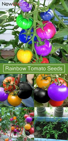 Rainbow Tomato Seeds Magic Garden Colorful Bonsai Organic Ve. - Engelchen - Rainbow Tomato Seeds Magic Garden Colorful Bonsai Organic Ve. Rainbow Tomato Seeds Magic Garden Colorful Bonsai Organic Vegetables and Fruits Seeds Home Yard. Fruit Garden, Garden Seeds, Edible Garden, Tomato Garden, Planting Seeds, Fruit Seeds, Tomato Seeds, Organic Vegetables, Growing Vegetables