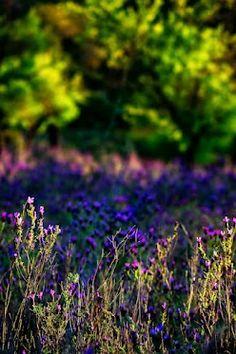 Lavander field, Wild Flora - Algarve(Portugal)