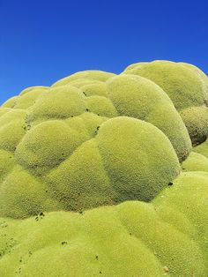 Yareta –Alien Life in the Andes? ~ Kuriositas