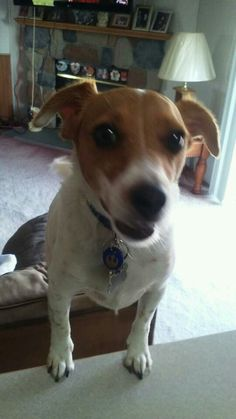 This is my very happy/spoiled Jack Russell.