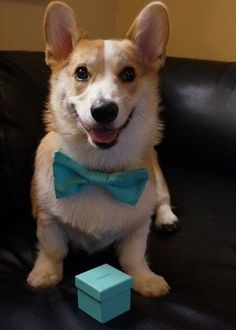 A corgi puppy + engagement ring??! I would die.