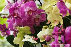 All of the Phalaenopsis plants that were used to create Kew's 2018 Orchid Festival were grown by Double H Nurseries. Double H Nurseries are a British Nursery, who are based in the South of England.