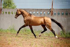 Horses for sale - Akhal-Teke Horse Russia Breeding For sale Prodayotsya axaltekinec