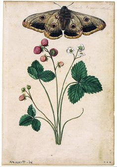 "Jacques Le Moyne de Morgues, ""Wild Strawberry and Female Emperor Moth"" #moth #illustration"