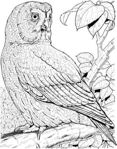 Great Grey Owl Coloring Page From Owls Category Select 27278 Printable Crafts Of Cartoons Nature Animals Bible And Many More