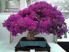 ohh my God I want this!! it looks like a little mini jacaranda tree