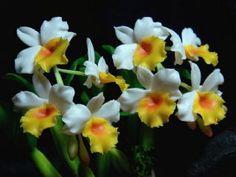 燈籠石斛(小型)(Dendrobium thyrsiflorim)*man made