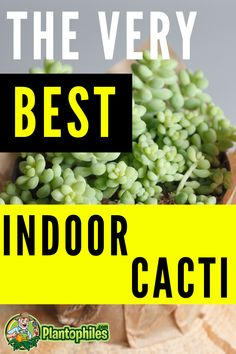 These 12 Cacti are perfect for cultivation indoors #plantophiles #cactus #floweringcactus Outdoor Plants, Air Plants, Indoor Cactus, Cacti And Succulents, Houseplants, Orchids, Lovers, Popular, Vegetables