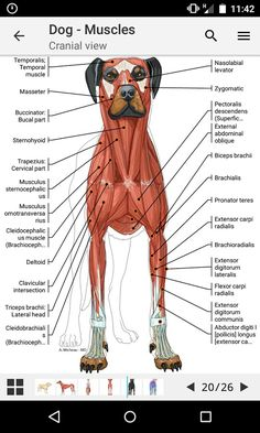 Dog Internal Anatomy Diagram House Electrical Wiring Symbols Uk A Visual Guide To Understanding With Labeled Diagrams Muscles