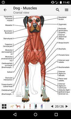 Veterinarian School, Veterinarian Technician, Dog Anatomy, Animal Anatomy, Vet Tech Student, Vet Assistant, Vet Med, Vet Clinics, Animal Science