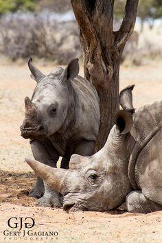 Rhino calf and mother.Wildlife photo taken at Dronfield Nature Reserve outside Kimberley. #rhino #wildlife #nature #photography #gertjgagiano
