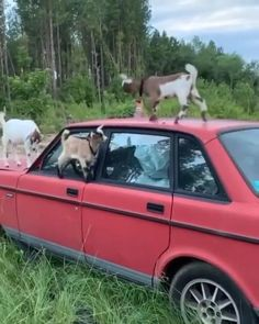 Cute Little Animals, Cute Funny Animals, Cute Goats, Baby Goats, Cute Animal Videos, Cool Pets, Animal Memes, Animals And Pets, Fluffy Animals