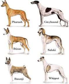 Ancient Egyptian religion and dogs   These pictures show resemblance to basenji, saluki, greyhounds, mastiffs others.