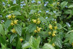 Lamier Jaune, Lamium galeobdolon, Ortie Jaune Plante vivace moyenne (40 cm maximum) qui pousse dans les endroits ombragés. De la famille des Lamiaceae, très commune en France.