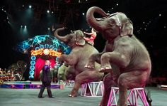 At last!  Now we have to be sure they go to good sanctuary care. Ringling Bros. To Retire Its Elephants Far Ahead Of Schedule