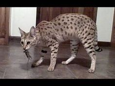 World's Tallest Pet Cat - MAGIC - a female F1 Savannah Cat - probably the most awesome you will see.
