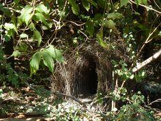 Great Bower Bird's Bower | Flickr - Photo Sharing!