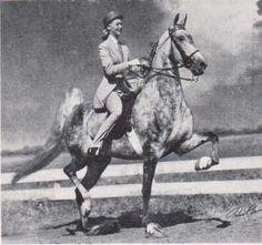 American Saddlebred 5G mare CH Beloved Belinda inherited her gray coloring from her grandsire Silver Flash.