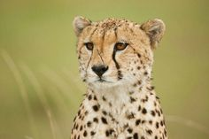#MasaiMara Wildlife Photography Workshop Day 3:  Cheetah .... hightligts for my workshop participants. Warm greetings from the Masai Mara sends you Uwe. The next wildlife photo workshop in the Masai Mara in September and November. For more info, please follow the link below my friends http://www.serengeti-wildlife.com/photo-workshops-photo-safaris/  #africa #cheetah #animals #safari #kenya #wildlife #photography #workshop