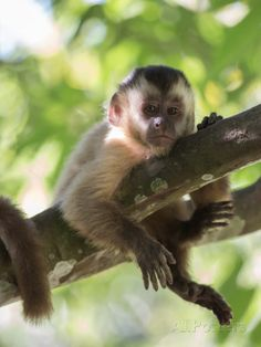 View top-quality stock photos of A Young Black Capped Capuchin Monkey Rests On A Tree. Animals Of The World, Animals And Pets, Baby Animals, Cute Animals, Monkey Art, Pet Monkey, Capuchin Monkey Pet, Capuchin Monkeys, Sumatran Orangutan