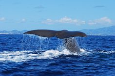 Azorean waters are among the world's top places for whale watching, with over 27 species recorded. Azores: The Bradt Guide www.bradtguides.com