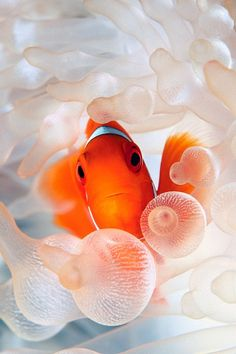 hd beautiful goldfish iphone 4 wallpapers