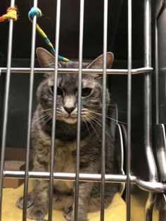 EXTREMELY URGENT-RETURN-GOOD GIRL CAGED 1 MONTH - SPARTA (28153) is 3 years SPAYED girl, an owner surrender who was adopted from MACC about 2 years ago. She was brought in Brooklyn Center with maggots. Her owner is moving out of the country and CAN'T TAKE THE CAT. Sparta is gentle, quiet, lived with 2 other cats, loved her cat bed and to play with a ball and laser pointers. Abandoned and neglected, looking for a new safe home. ♥ http://nyccats.urgentpodr.org/sparta-28153-aka-a1067795