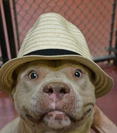 This pitty is a snappy dresser. Hope he's living his best life! Cute Puppies, Cute Dogs, Dogs And Puppies, Doggies, Chihuahua Dogs, Animals And Pets, Funny Animals, Cute Animals, Beautiful Dogs