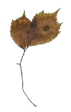 Hannah Streefkerk, Mended leaves, 2012-, Dried leaves mended with stitches and yarn, the photo shows only one but it are many, like 200, they are all framed in wooden frames