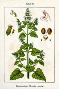 Catnip Herb Benefits, Uses and Side Effects