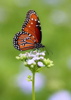 Queen on Mistflower by TexasEagle, via Flickr