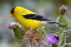 SEEDS OF KNOWLEDGE : U.S. State Birds ~ Pinegreenwoods