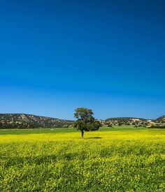 Yellow fields in North Cyprus. #tree #bluesky #cyprus #travel #travellingtheworld #simple #nikon #nikonphotography #yellow #colours #travelgram #igers #instagram #earthpix #landscape #landscapephotography #loneliness #cyprus #visitcyprus #ig_cyprus #discoveringtheworld #worldbestgram #photography #dailyphoto #somewhereinthemiddleofnowhere by riccardozambelloni