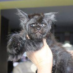 Esta gata com um rosto humano vai te impressionar #gata #humana #rosto