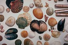 Seashells hand picked from beach drift in North Wales at Shell Island near Harlech Castle, Wales, bivalves and gastropods, March/April 1985.