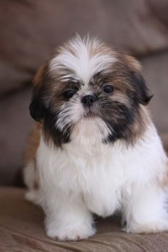 Adorable Shih Tzu puppy!!  www.noblepuppies.com