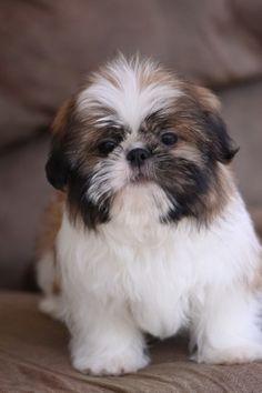 Adorable Shih Tzu puppy!!  www.noblepuppies.com