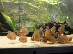 A Group of Wild Discus