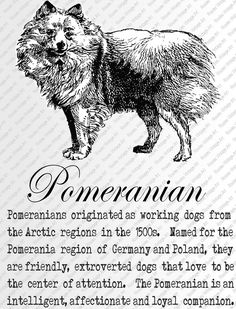 POMERANIAN DOWNLOAD INSTANT Digital Vintage Art with Description Printable Frame Cards Fabric Transfer Iron On by RosiesVintageArtShop on Etsy