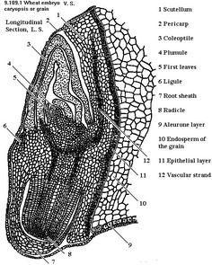 oleander leaf cross section