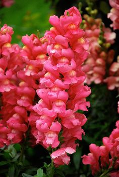 Love these tall snapdragons along a white picket fence and they hold up well as cut flowers also. Description from pinterest.com. I searched for this on bing.com/images