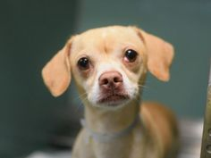 TO BE DESTROYED 08/14/15 – SUAVE- A1046190 ++AVAILABLE FOR ADOPTION NOW!++ Brooklyn Center-P My name is SUAVE. My Animal ID # is A1046190. I am a male tan chihuahua sh. The shelter thinks I am about 2 YEARS old. I came in the shelter as a SEIZED on 07/31/2015 from NY 11236, owner surrender reason stated was OWN EVICT. I came in with Group/Litter #K15-025296.