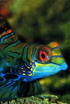 it's a....Mandarinfish