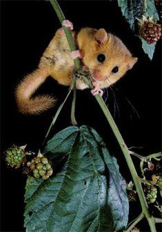 Go nuts for Dormice  www.sussexwilldifetrust.org.uk/blog  dormouse_hughClark
