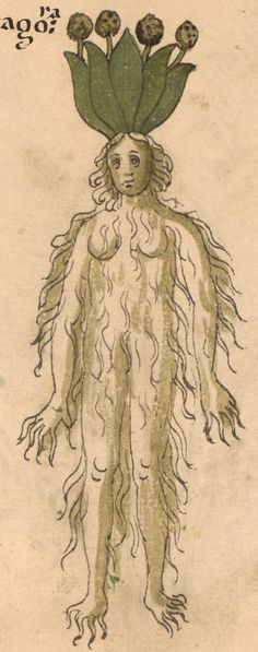 Mandragora, 15th c., Erbario, Northern Italy, Rare Book & Manuscript Library University of Pennsylvania LJS 419, f.36r -Detail