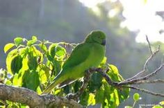 mauritius birds - Bing images